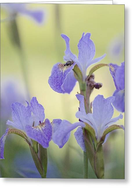 Swiss Photographs Greeting Cards - Bee and Irises Greeting Card by Colleen Williams