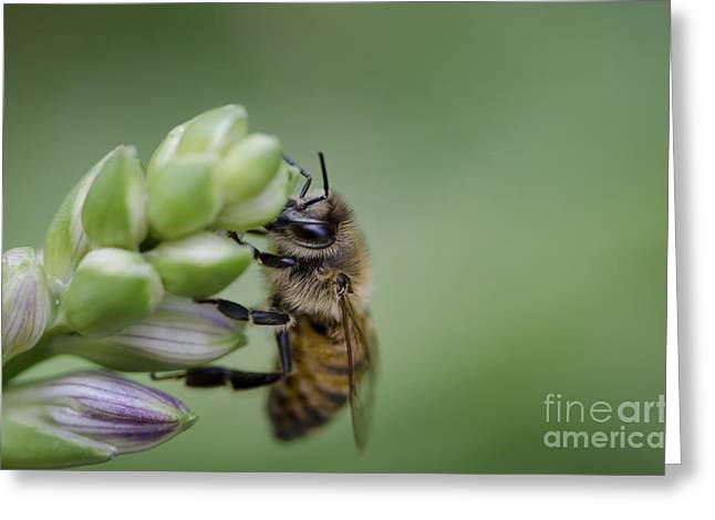 Busy Bee Greeting Card by Andrea Silies