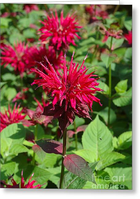 Medication Greeting Cards - Bee Balm Greeting Card by John Kaprielian