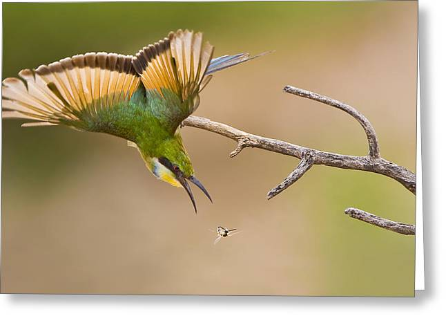 Hunting Bird Photographs Greeting Cards - Bee-eater Greeting Card by Basie Van Zyl