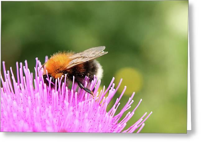 Jouko Mikkola Greeting Cards - Bee in purple flower Greeting Card by Jouko Mikkola