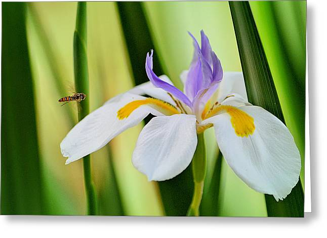 Australian Bee Greeting Cards - Bee Observer - Australian Native Iris Greeting Card by Anthony Robinson