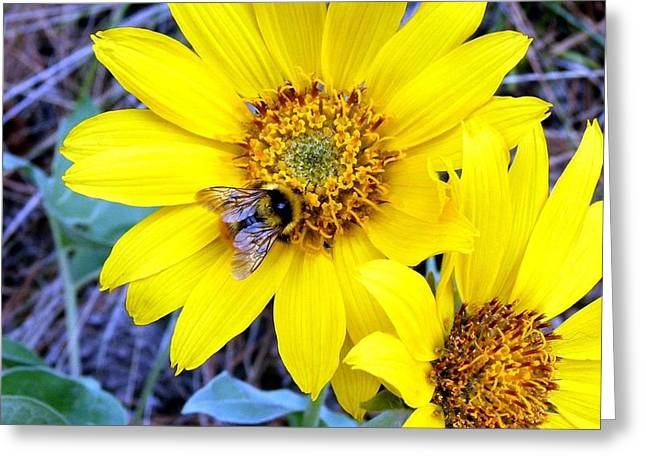 Gathering Greeting Cards - Bee On Wild Sunflowers Greeting Card by Will Borden