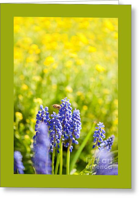Blue Grapes Greeting Cards - Bee worker flying above blue Muscari Mill flower  Greeting Card by Arletta Cwalina