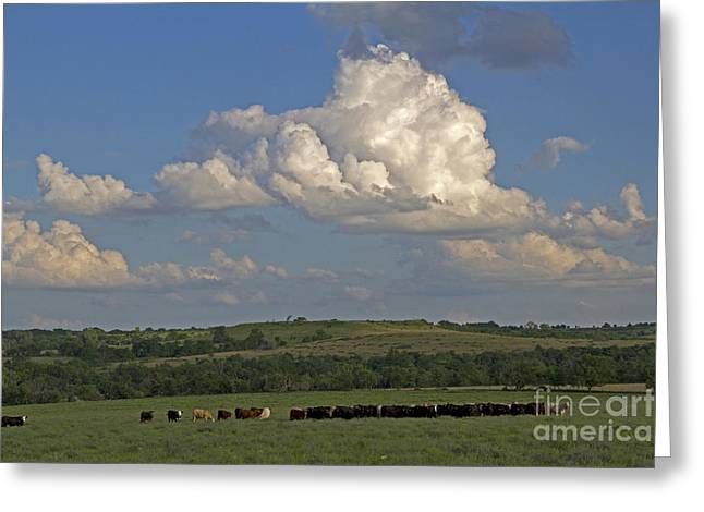 Bos Bos Greeting Cards - Beef Cattle In Kansas Greeting Card by Kenneth M. Highfill
