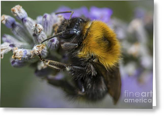Beeswax Greeting Cards - Bees Knees Greeting Card by Ian Mitchell