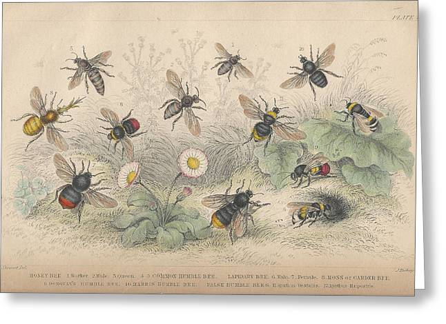 Bees Drawings Greeting Cards - Bees Greeting Card by Oliver Goldsmith