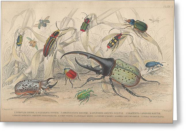 Insects Drawings Greeting Cards - Beetles Greeting Card by Oliver Goldsmith