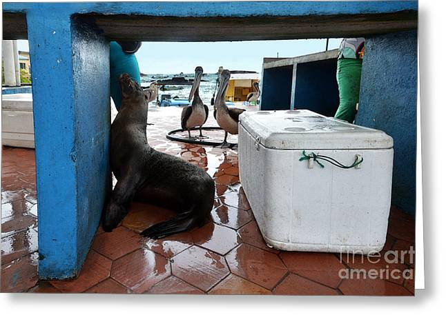 Santa Cruz Greeting Cards - Begging Galapagos Sea Lion Greeting Card by Catherine Sherman