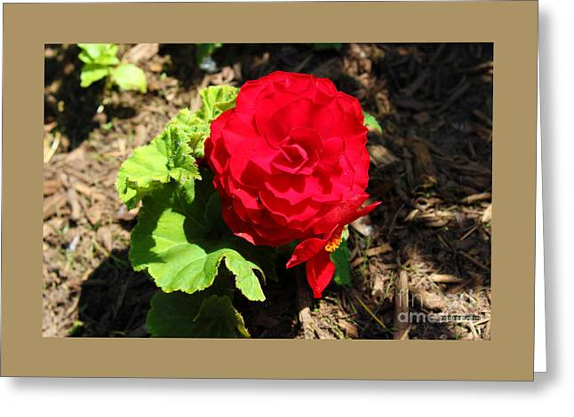 Begonia Flower - Red Greeting Card by Corey Ford