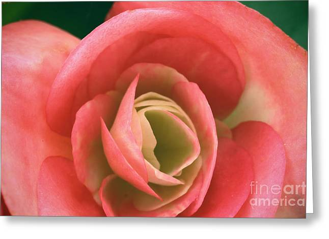 Macro Finalized Photographs Greeting Cards - Begonia Rose Greeting Card by Ryan Kelly