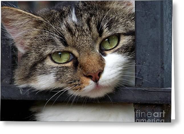 Cat Face Greeting Cards - Behind Bars Greeting Card by Jai Johnson