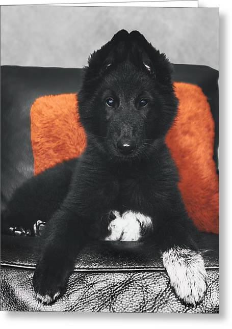 Sheepdog Greeting Cards - Belgian Sheepdog Puppy Greeting Card by Wolf Shadow  Photography