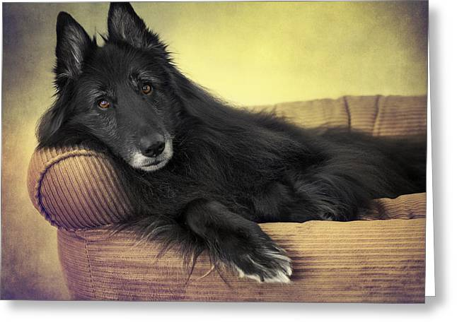 Working Dog Greeting Cards - Belgian Sheepdog Reclining Greeting Card by Wolf Shadow  Photography