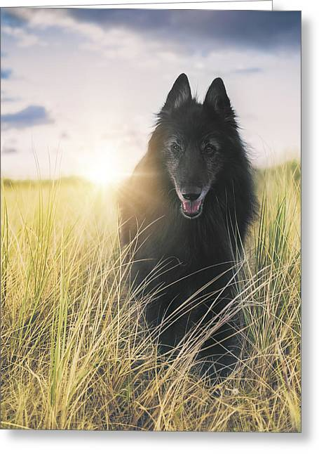 Working Dog Greeting Cards - Belgian Shepherd Groenendael in sea grass. Greeting Card by Wolf Shadow  Photography