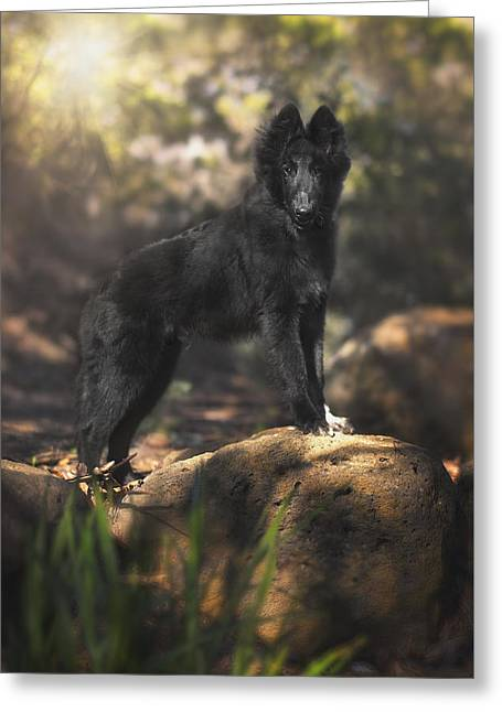 Working Dog Greeting Cards - Belgian Shepherd Puppy in the woods Greeting Card by Wolf Shadow  Photography