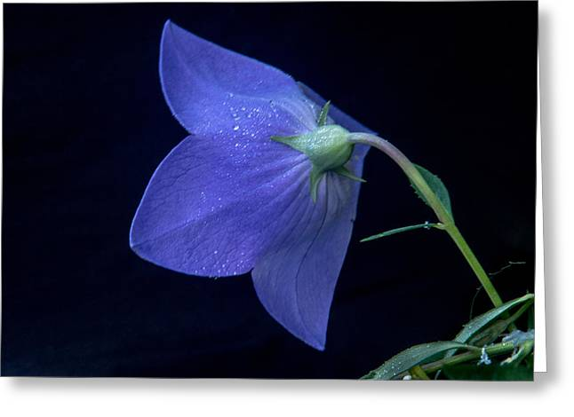Platycodon Greeting Cards - Bell Flower From Behind Greeting Card by Douglas Barnett