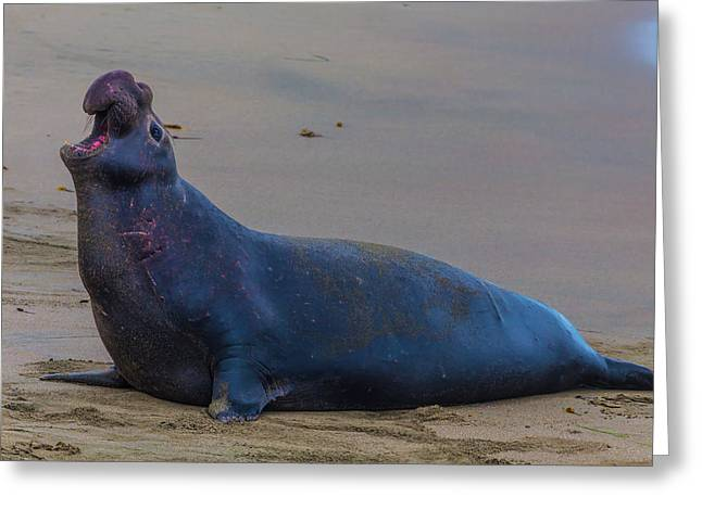 Bellowing Bull Elephant Seal Greeting Card by Garry Gay