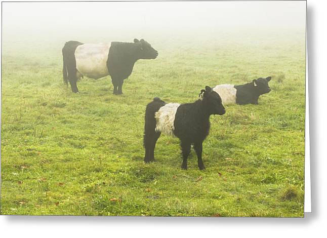 Belted Galloway Greeting Cards - Belted Galloway Cows Grazing  In foggy Farm Field Maine Greeting Card by Keith Webber Jr