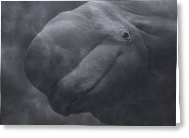 Whale Photographs Greeting Cards - Beluga Face to Face Greeting Card by Betsy C  Knapp