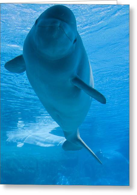 Whale Photographs Greeting Cards - Beluga Whale In A Marine Park, Ontario Greeting Card by Darwin Wiggett