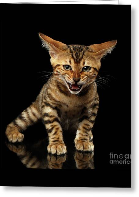 Bengal Kitty Stands And Hissing On Black Greeting Card by Sergey Taran