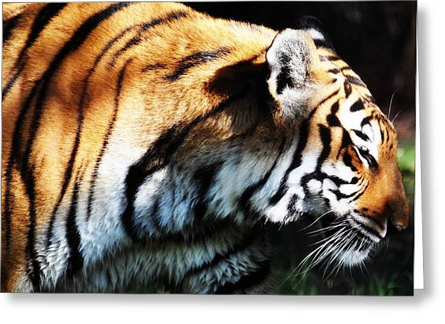 Shadowplay Greeting Cards - Bengal Tiger Greeting Card by Rose  Hill