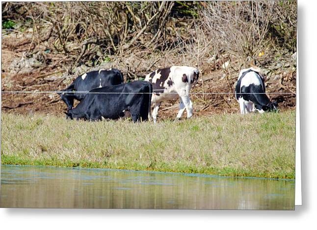 Owner Greeting Cards - Bermuda Cows Too Busy Eating to Pose Greeting Card by Jeff at JSJ Photography