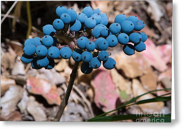 Blue Grapes Greeting Cards - Berries on an Oregon Grape plant Greeting Card by Rex Wholster