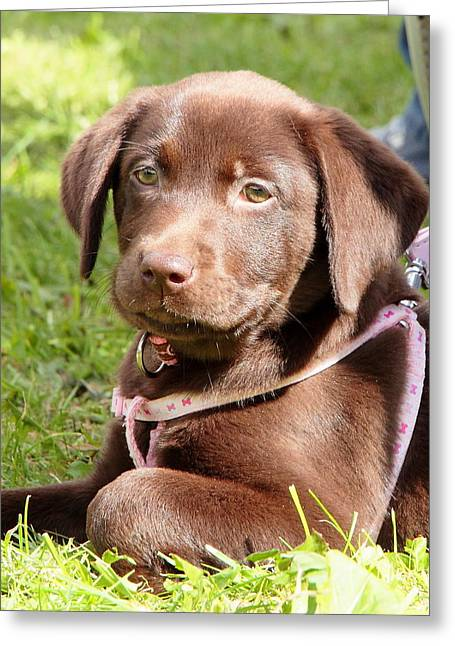 Chocolate Lab Greeting Cards - Best Stay In The Shade Greeting Card by Nigel Espley