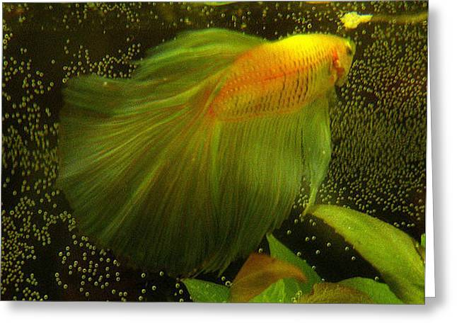 Betta Greeting Cards - Betta and Bubbles Greeting Card by CL Redding