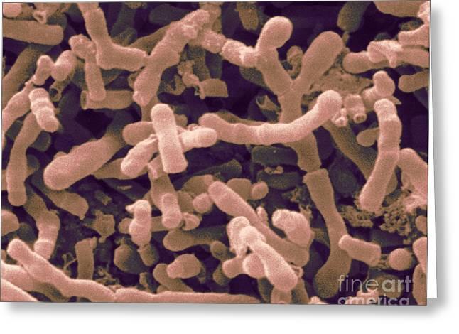Sem Greeting Cards - Bifidobacterium Longum, Sem Greeting Card by Scimat