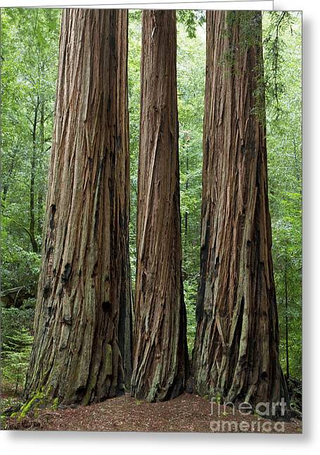 Big Basin Greeting Cards - Big Basin Redwoods Greeting Card by Greg Stechishin