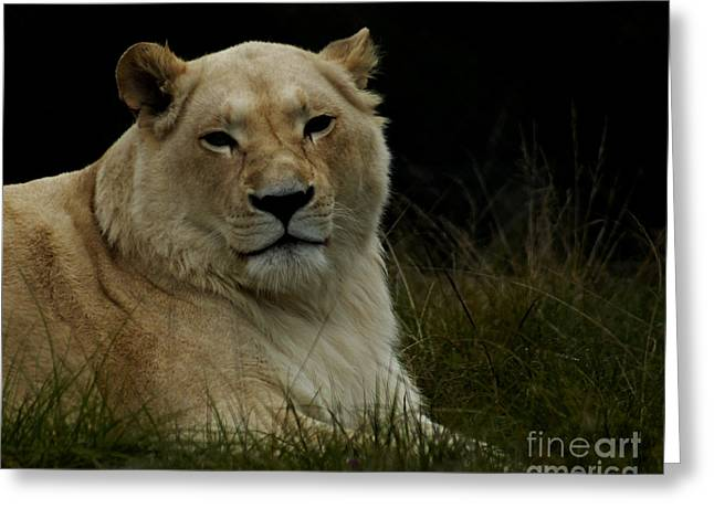 Lioness Greeting Cards - Big Cats 113 Greeting Card by Ben Yassa