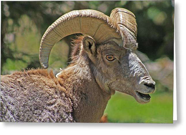 Csu Greeting Cards - Big Horn Sheep Greeting Card by Zach  Arnone