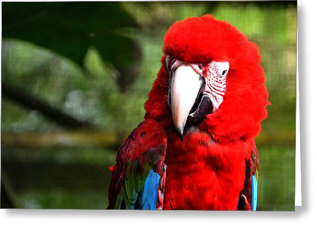 Flying Animal Greeting Cards - Big Red Parrot Greeting Card by Harry Coburn
