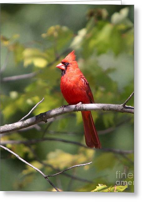 Male Northern Cardinal Greeting Cards - BIG red Greeting Card by Robert Pearson