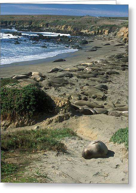 Recently Sold -  - Elephant Seals Greeting Cards - Big Sur Seal Rookery Greeting Card by John Burk