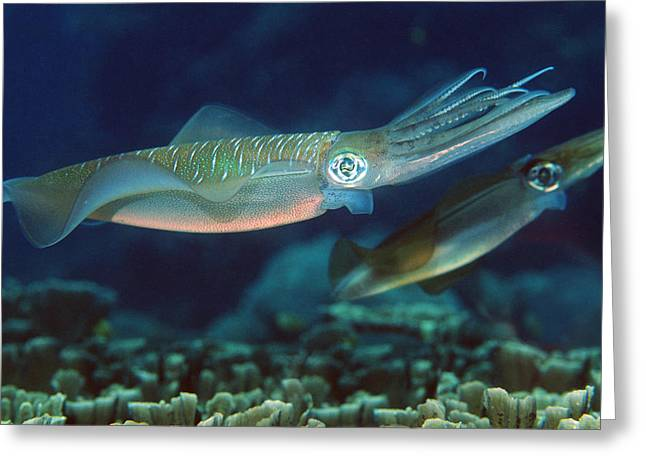 Indonesian Wildlife Greeting Cards - Bigfin Reef Squid Greeting Card by Georgette Douwma