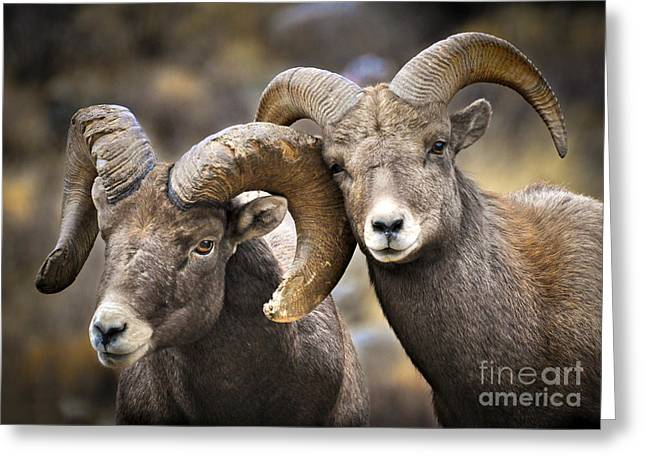 Bighorn Greeting Cards - Bighorn Brothers Greeting Card by Kevin Munro