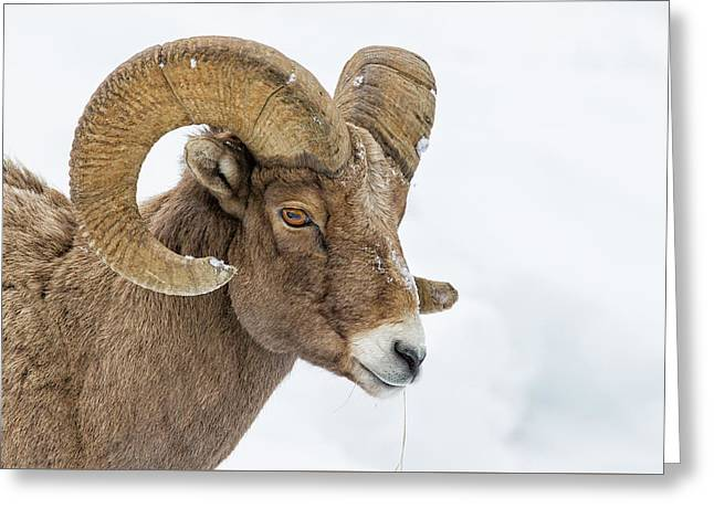 Bighorn Greeting Card by Doug Oglesby