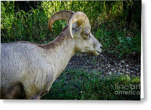 Zoology Greeting Cards - Bighorn Sheep - Custer State Park Greeting Card by Debra Martz