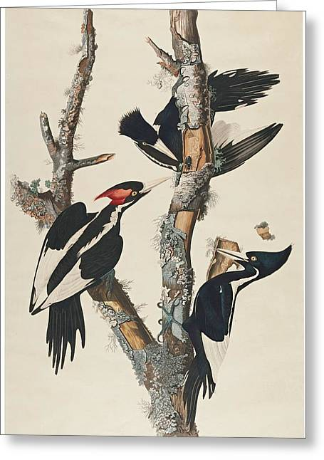 Billed Woodpecker Greeting Card by John James