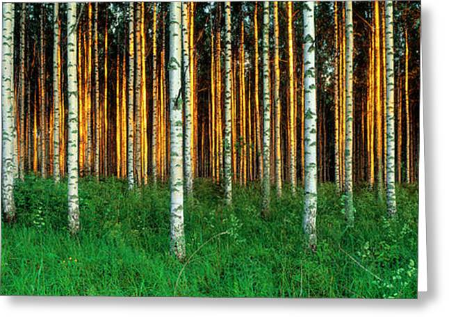 Tree Lines Greeting Cards - Birch Trees, Saimma, Lakelands, Finland Greeting Card by Panoramic Images