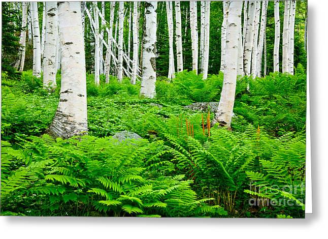 Wild And Scenic Greeting Cards - Birches and Ferns Greeting Card by Susan Cole Kelly