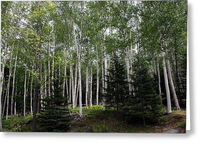 Birch Tree Greeting Cards - Birches Greeting Card by Heather Applegate