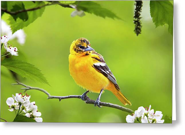 Bird And Blooms - Baltimore Oriole Greeting Card by Christina Rollo