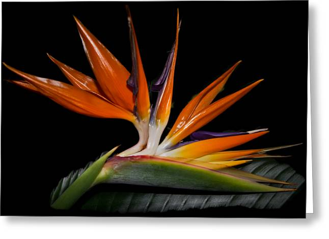 Florida Flowers Greeting Cards - Bird in Paradise Greeting Card by Debra and Dave Vanderlaan