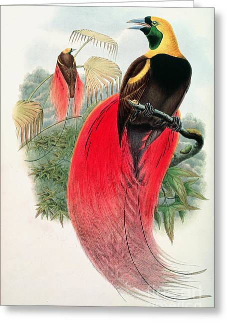 Red Claws Greeting Cards - Bird of Paradise Greeting Card by John Gould