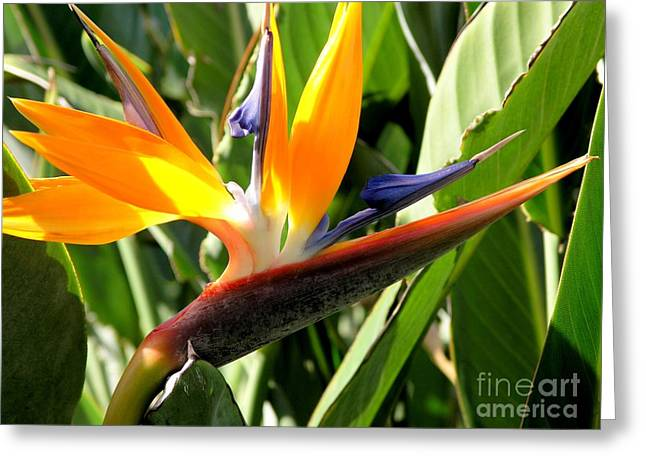 Mary Deal Greeting Cards - Bird of Paradise Greeting Card by Mary Deal